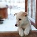 Small photo of Alaskan Husky