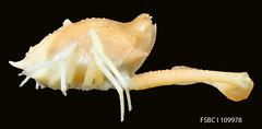 Shouldered Purse Crab