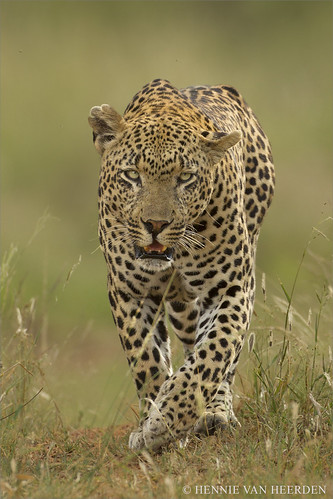 The Airstrip Male - leopard of Mala Mala