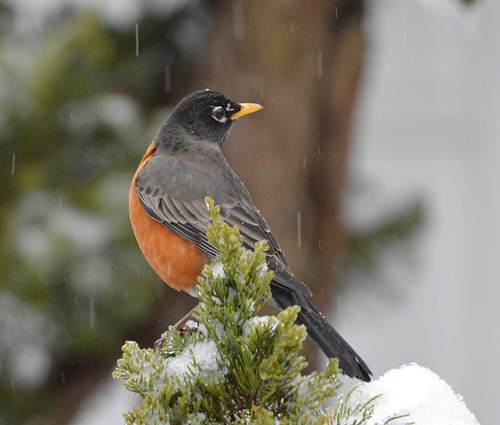 Robin in the Sleeting Rain
