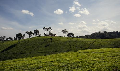 africa green nature canon tea kenya farm 6d eastafrica kiambu canonuser dobaiviktor