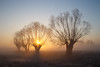 Willows, sunrise. by gibberpl