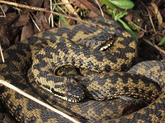 curled up adders