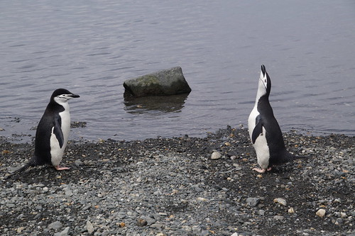 227 Elephant Island - Point Lookout Kinbandpinguins