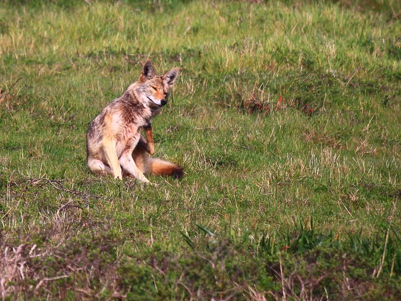 IMG_7653 Coyote