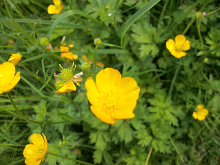 Picture of Buttercups