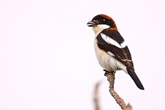 Woodchat shrike near my Villa