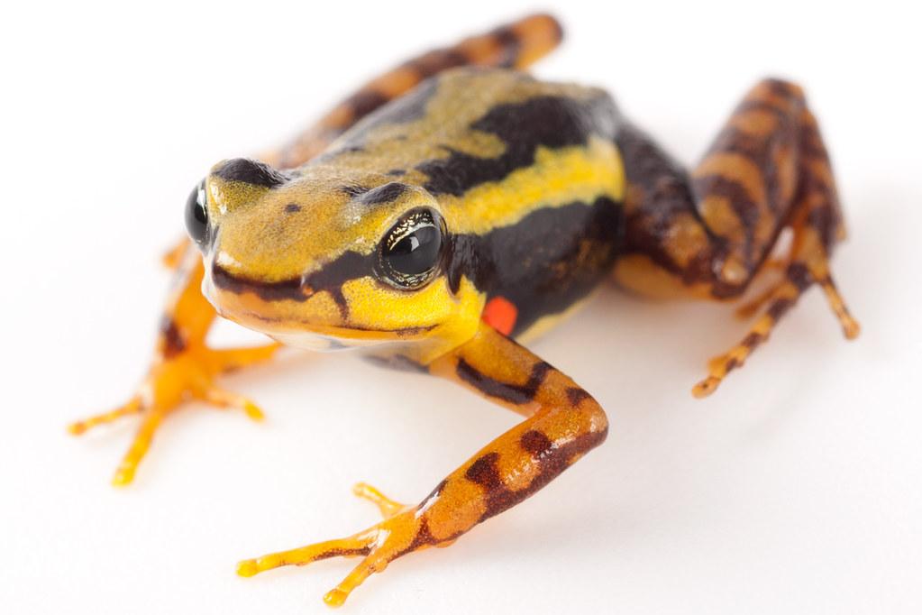 <i>Epipedobates tricolor</i> Rana venenosa tricolor ♂