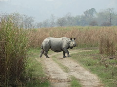 CHARGE BY RHINO BULL (1), Kaziranga NP, India