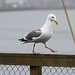 Strutting Gull by fzx_is_phun