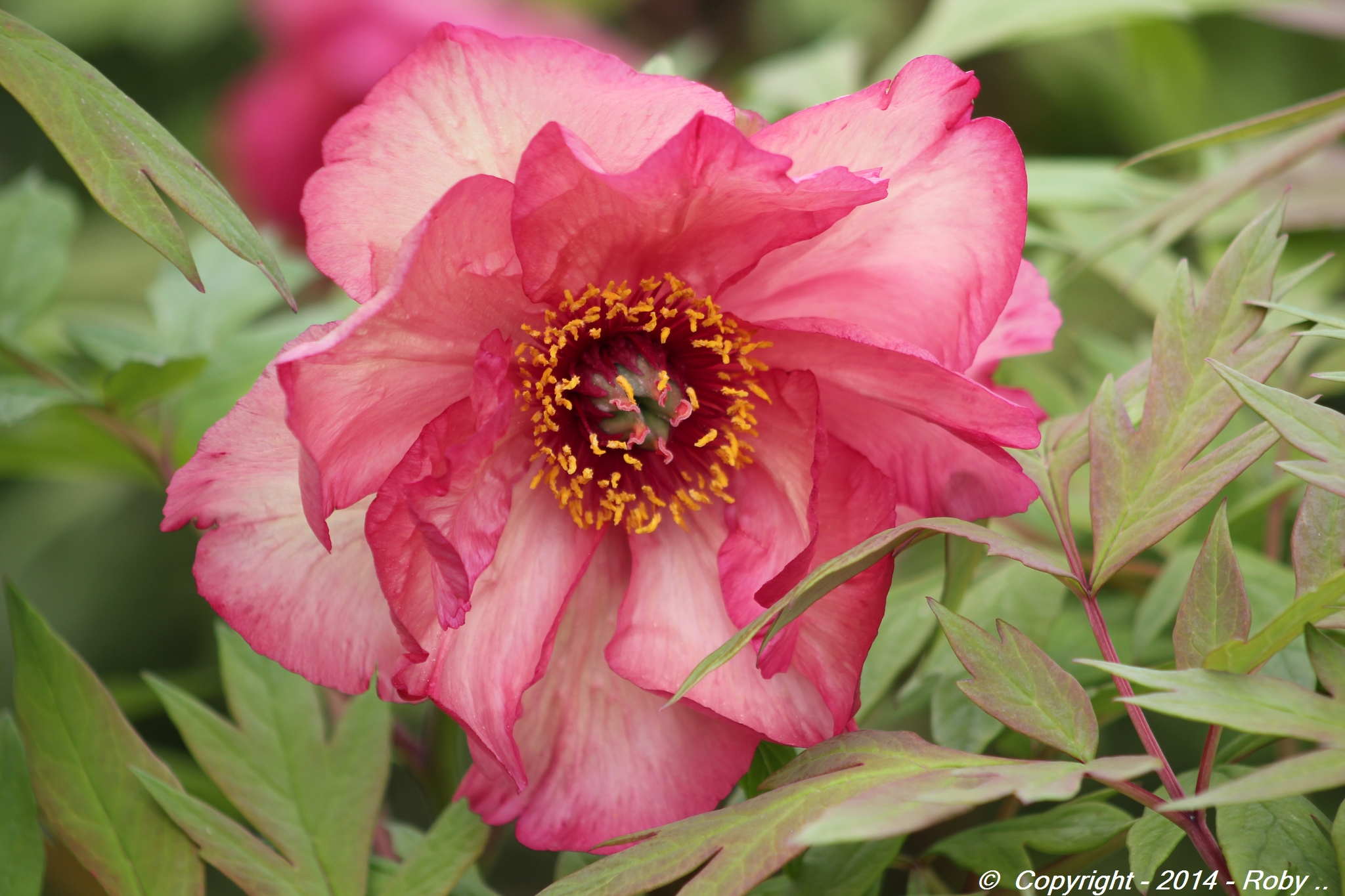 Paeonia - Roby 2014 - IMG_7002