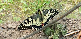 Rups gekweekt tot vlinder