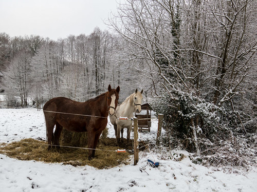 The horses in the snow