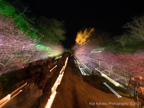 今帰仁グスク桜まつり | Okinawa #05