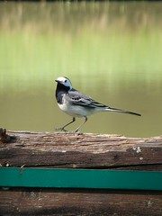 Bergeronette grise - White Wagtail