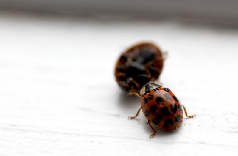 ladybug cannibal