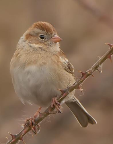 fieldsparrow sparrow spizellapusilla bonniecoatesott