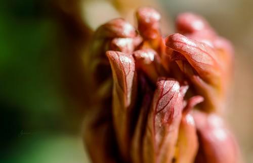 pink macro green nature closeup garden nikon bokeh peony upclose jeanmarie nikond3200 jeanmarieshelton