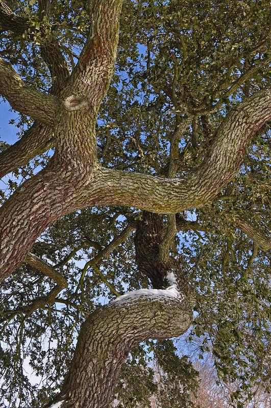 Live Oak (1)