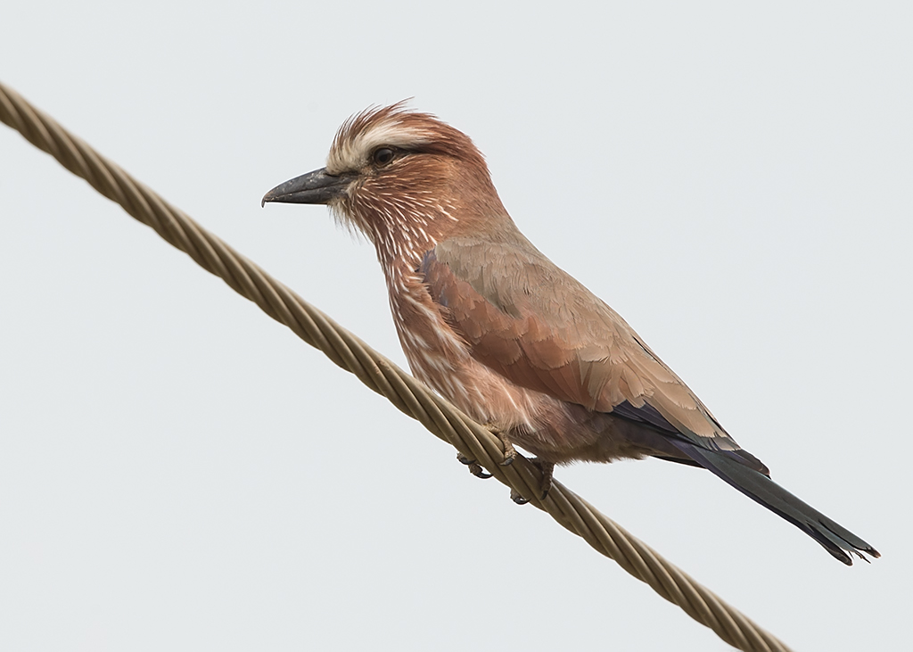Rufus-crowned Roller  Gambia