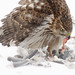 Cooper's Hawk, eating by Richard Wintle