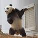 Bao Bao Panda boogies on down by Sandra Parshall