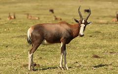 Blesbok, Damaliscus pygargus phillipsi, at Krugersdorp Game Reserve, Gauteng, South Africa