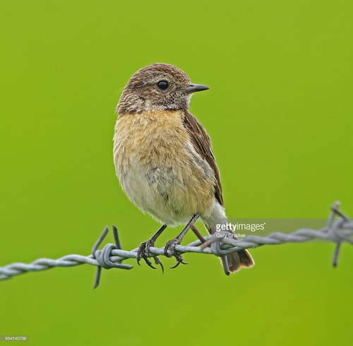 Stonechat juvenile first clutch