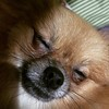 My little Pomeranian...#dog #love #pomeranian #ginger...
