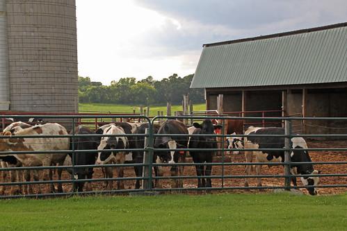 I gotta go, Julia. We've got cows!