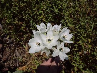 Ornitogalum arabicum, Star of Bethlehem
