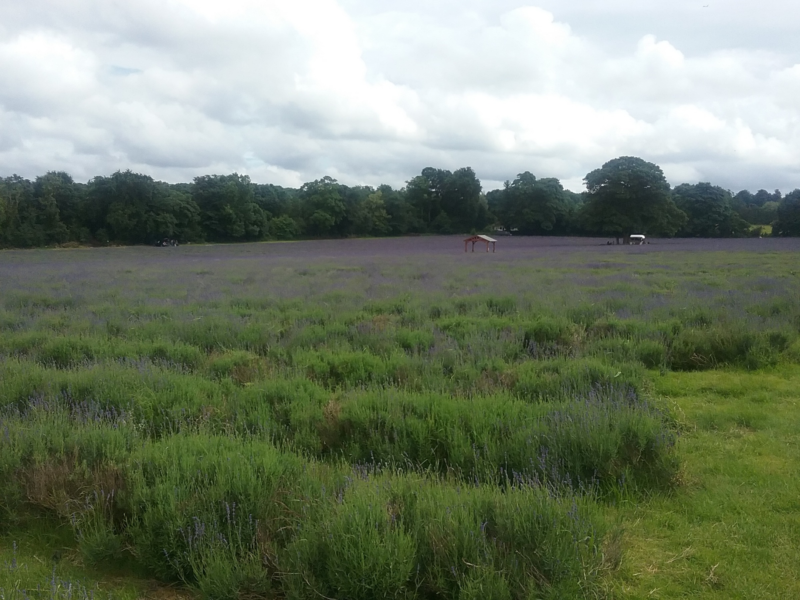 20160630_155526 Public footpath across Mayfield Farm lavender fields