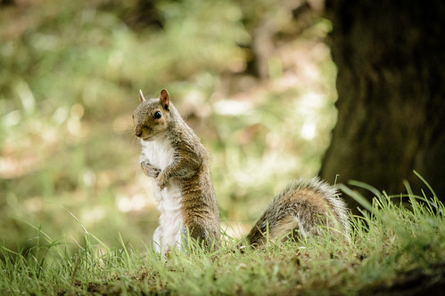 Squirrel, Brandon Hill, Bristol