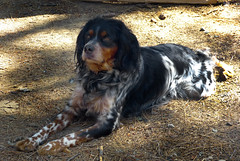 dog breed, animal, english setter, gordon setter, dog, boykin spaniel, pet, setter, russian spaniel, english cocker spaniel, picardy spaniel, blue picardy spaniel, spaniel, german spaniel, carnivoran,
