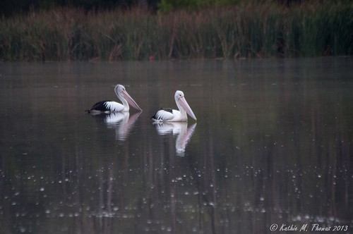 A tale of two pelicans