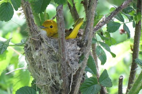 Paruline jaune - Yellow Warbler  4 Juin 2013 067 by Diane G....