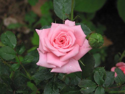 "Miniature Rose ""Cupcake."" by Leenechan"