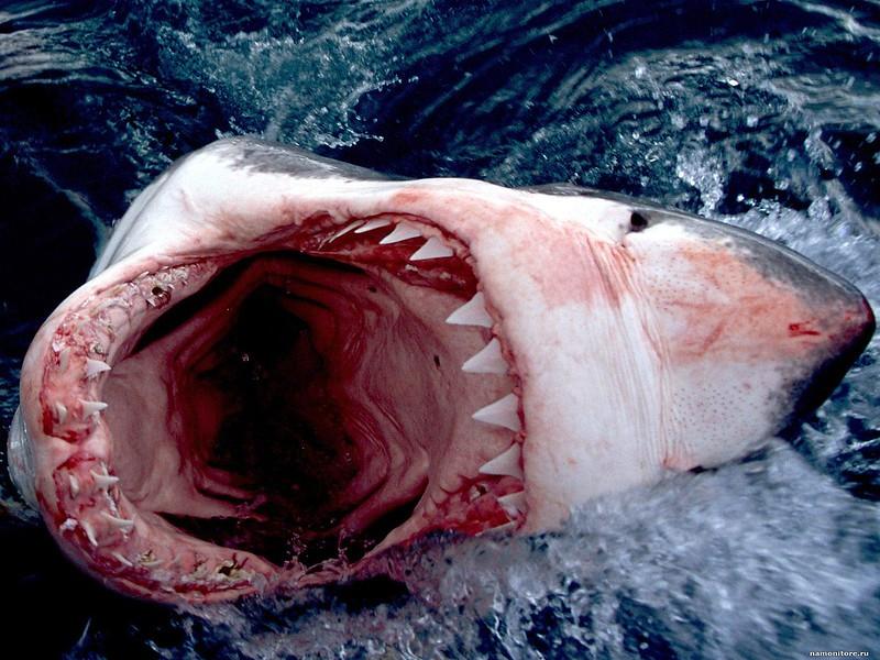 Boca de tiburón blanco