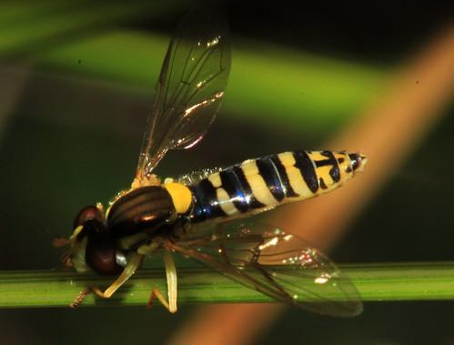 Sphaerophora 20075