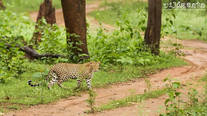 Leopard52