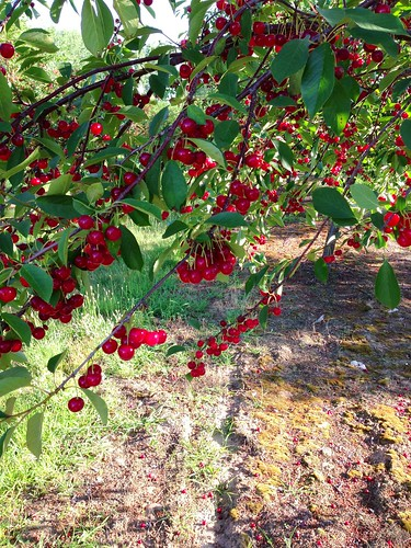 Tart cherry trees, Traverse City, MI
