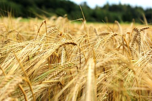 Barley / Gerste I