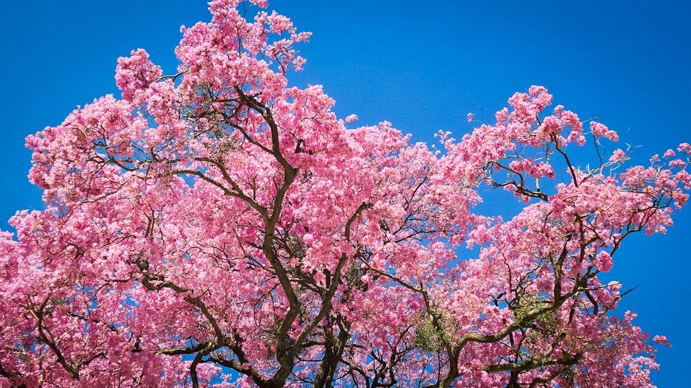 Un árbol de Lapacho totalmente florecido es visto sobre la Avda Perú casi Gaspar Rodriguez de Francia, la zona conocida como Mercado 4, varios árboles de esta especie ya alcanzaron su plenitud de florecimiento en estos días de Agosto. (Elton Núñez).