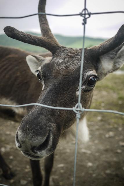 Reindeer farm near Horonobe, Hokkaido, Japan