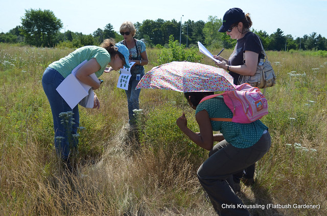 Examining /Baptisia tinctoria/ in the Hempstead Plains