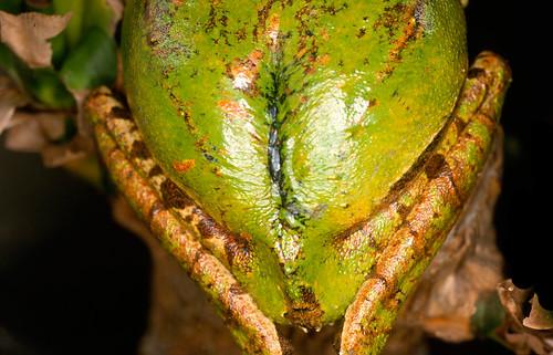 <i>Gastrotheca guentheri</i> Rana marsupial de Gunther ♀Detalle de la bolsa incubadora