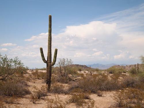arizona cactus cacti landscape desert vegetation tall saguaro shape iconic sonorandesert southwesternunitedstates americansouthwest maricopacounty buckeyeaz maricopacountyaz buckeyehills buckeyehillsrecreationarea buckeyehillsregionalpark
