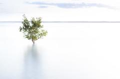 L'albero del latte