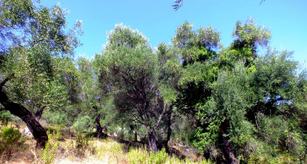 29. Bosque de olivos centenarios. Autor, Keith Laverack