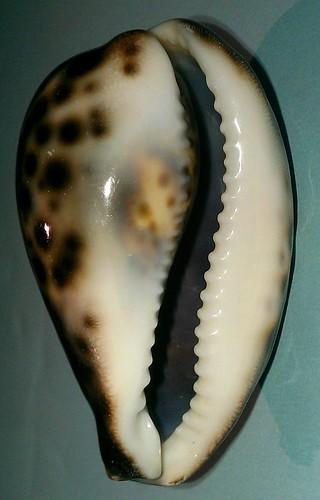 Identification Cypraeidae juvénile = cypraea tigris 10207844183_493de2d45b